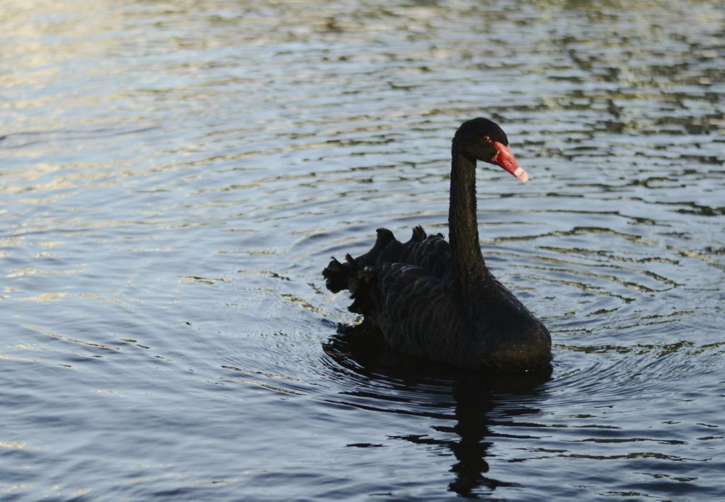 The sorceror (black swan approaches